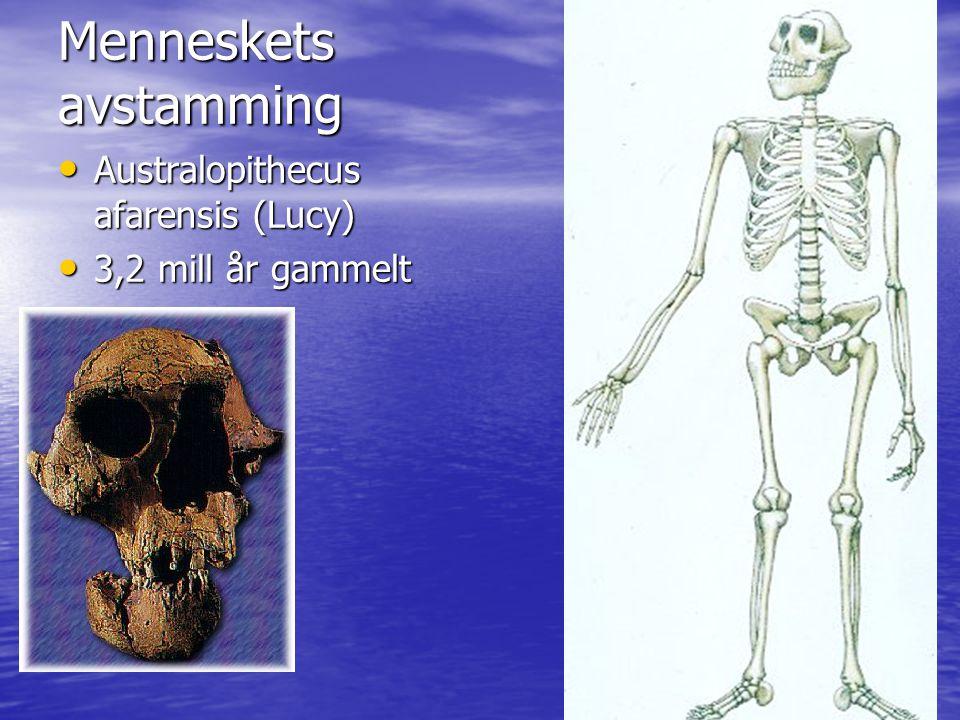 Menneskets avstamming Australopithecus afarensis (Lucy) Australopithecus afarensis (Lucy) 3,2 mill år gammelt 3,2 mill år gammelt