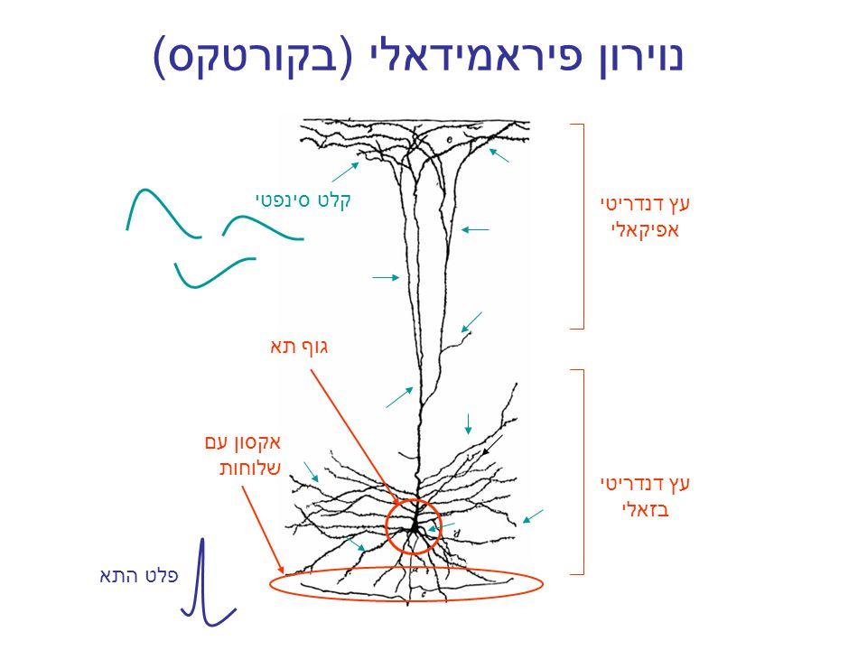 נוירון פיראמידאלי (בקורטקס) עץ דנדריטי אפיקאלי עץ דנדריטי בזאלי גוף תא אקסון עם שלוחות קלט סינפטי פלט התא