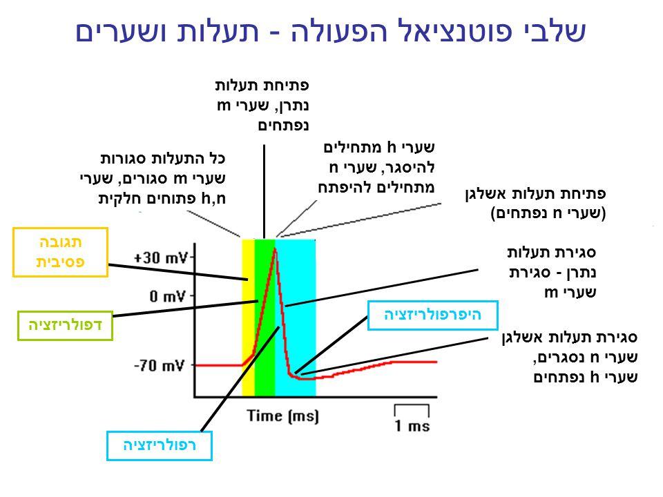 שלבי פוטנציאל הפעולה - תעלות ושערים דפולריזציה רפולריזציה כל התעלות סגורות שערי m סגורים, שערי h,n פתוחים חלקית פתיחת תעלות נתרן, שערי m נפתחים שערי h