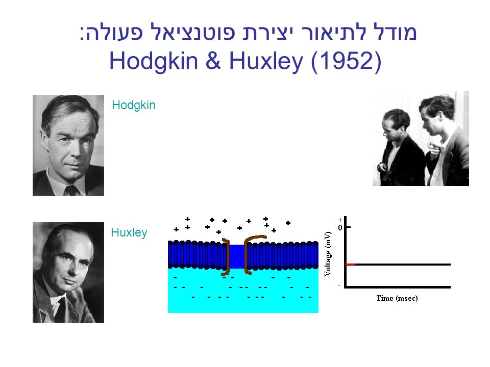 מודל לתיאור יצירת פוטנציאל פעולה: Hodgkin & Huxley (1952) Hodgkin Huxley