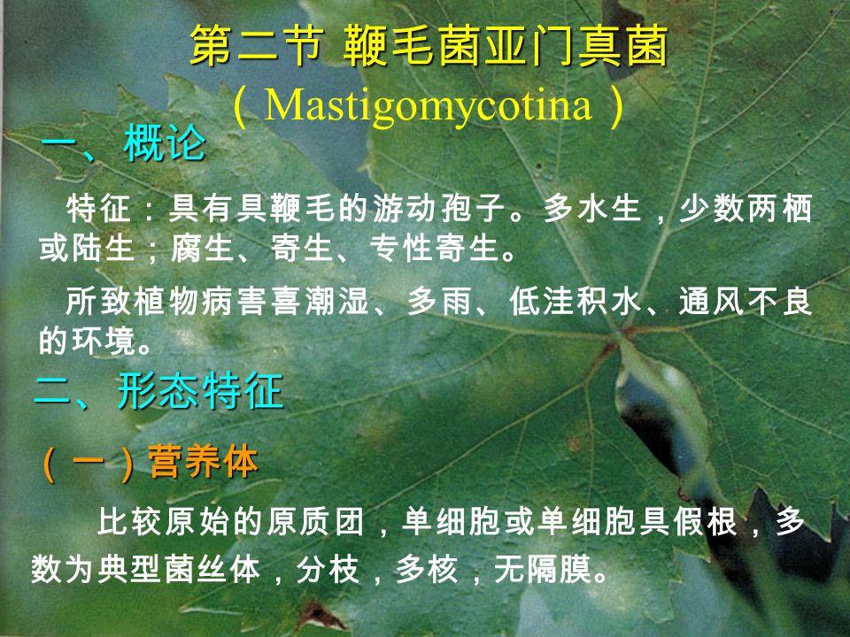 第二节 鞭毛菌亚门真菌 第二节 鞭毛菌亚门真菌 ( Mastigomycotina ) 二、形态特征(一)营养体 比较原始的原质团,单细胞或单细胞具假根,多 数为典型菌丝体,分枝,多核,无隔膜。 一、概论 特征:具有具鞭毛的游动孢子。多水生,少数两栖 或陆生;腐生、寄生、专性寄生。 所致植物病害喜潮