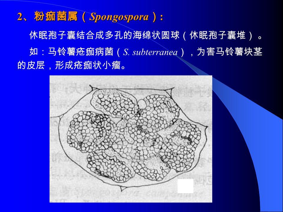 2 、粉痂菌属( Spongospora ) : 休眠孢子囊结合成多孔的海绵状圆球(休眠孢子囊堆) 。 如:马铃薯疮痂病菌( S. subterranea ),为害马铃薯块茎 的皮层,形成疮痂状小瘤。