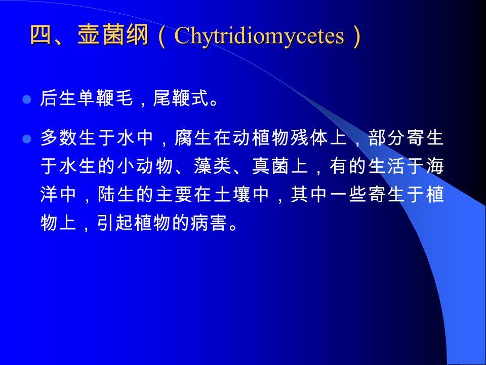 四、壶菌纲( Chytridiomycetes ) 后生单鞭毛,尾鞭式。 多数生于水中,腐生在动植物残体上,部分寄生 于水生的小动物、藻类、真菌上,有的生活于海 洋中,陆生的主要在土壤中,其中一些寄生于植 物上,引起植物的病害。