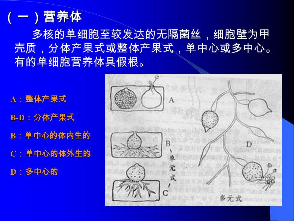 (一)营养体 多核的单细胞至较发达的无隔菌丝,细胞壁为甲 壳质,分体产果式或整体产果式,单中心或多中心。 有的单细胞营养体具假根。 A :整体产果式 B-D :分体产果式 B :单中心的体内生的 C :单中心的体外生的 D :多中心的