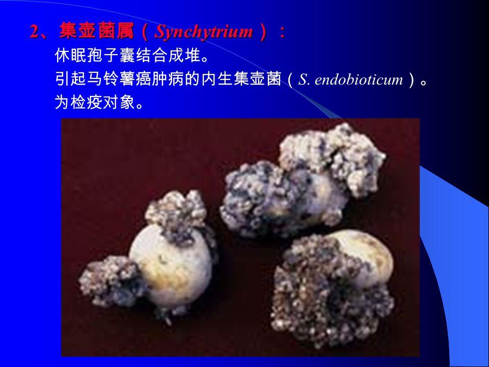 2 、集壶菌属( Synchytrium ): 休眠孢子囊结合成堆。 引起马铃薯癌肿病的内生集壶菌( S. endobioticum )。 为检疫对象。