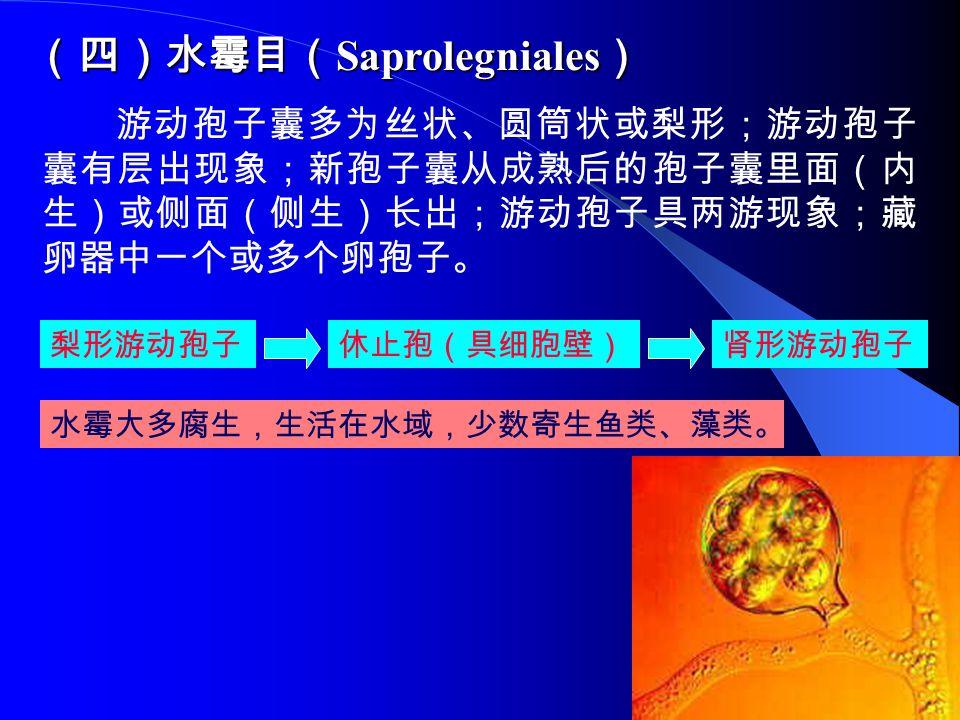 (四)水霉目( Saprolegniales ) 游动孢子囊多为丝状、圆筒状或梨形;游动孢子 囊有层出现象;新孢子囊从成熟后的孢子囊里面(内 生)或侧面(侧生)长出;游动孢子具两游现象;藏 卵器中一个或多个卵孢子。 梨形游动孢子休止孢(具细胞壁)肾形游动孢子 水霉大多腐生,生活在水域,少数寄生鱼类、