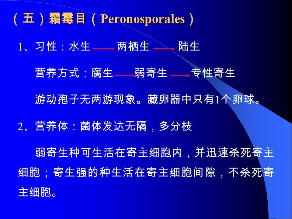 (五)霜霉目( Peronosporales ) 1 、习性:水生 两栖生 陆生 营养方式:腐生 弱寄生 专性寄生 游动孢子无两游现象。藏卵器中只有 1 个卵球。 2 、营养体:菌体发达无隔,多分枝 弱寄生种可生活在寄主细胞内,并迅速杀死寄主 细胞;寄生强的种生活在寄主细胞间隙,不杀死寄 主细胞。