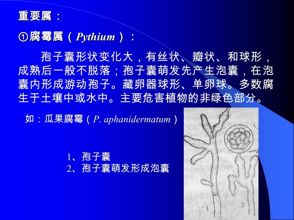 重要属: ①腐霉属( Pythium ): 孢子囊形状变化大,有丝状、瓣状、和球形, 成熟后一般不脱落;孢子囊萌发先产生泡囊,在泡 囊内形成游动孢子。藏卵器球形、单卵球。多数腐 生于土壤中或水中。主要危害植物的非绿色部分。 如:瓜果腐霉( P. aphanidermatum ) 1 、孢子囊 2 、