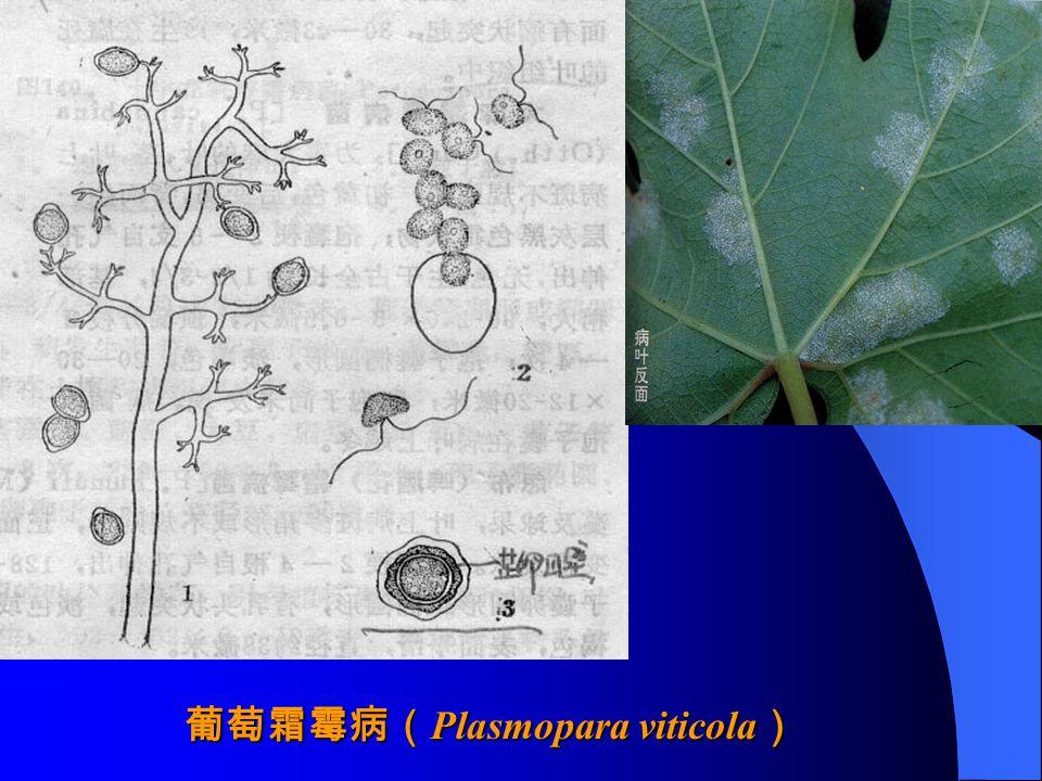 葡萄霜霉病( Plasmopara viticola )