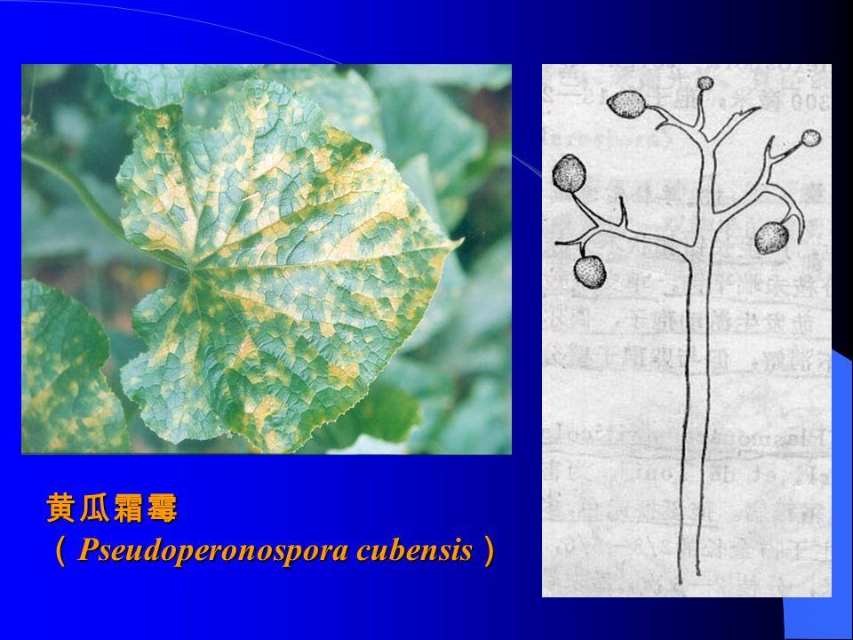 黄瓜霜霉 ( Pseudoperonospora cubensis )