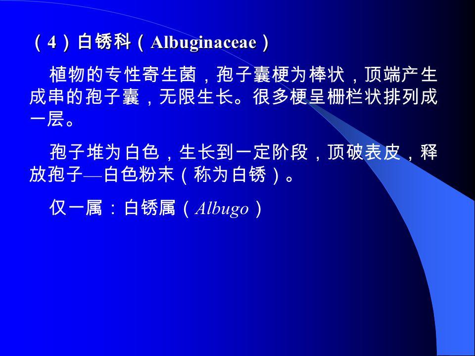 ( 4 )白锈科( Albuginaceae ) 植物的专性寄生菌,孢子囊梗为棒状,顶端产生 成串的孢子囊,无限生长。很多梗呈栅栏状排列成 一层。 孢子堆为白色,生长到一定阶段,顶破表皮,释 放孢子 — 白色粉末(称为白锈)。 仅一属:白锈属( Albugo )