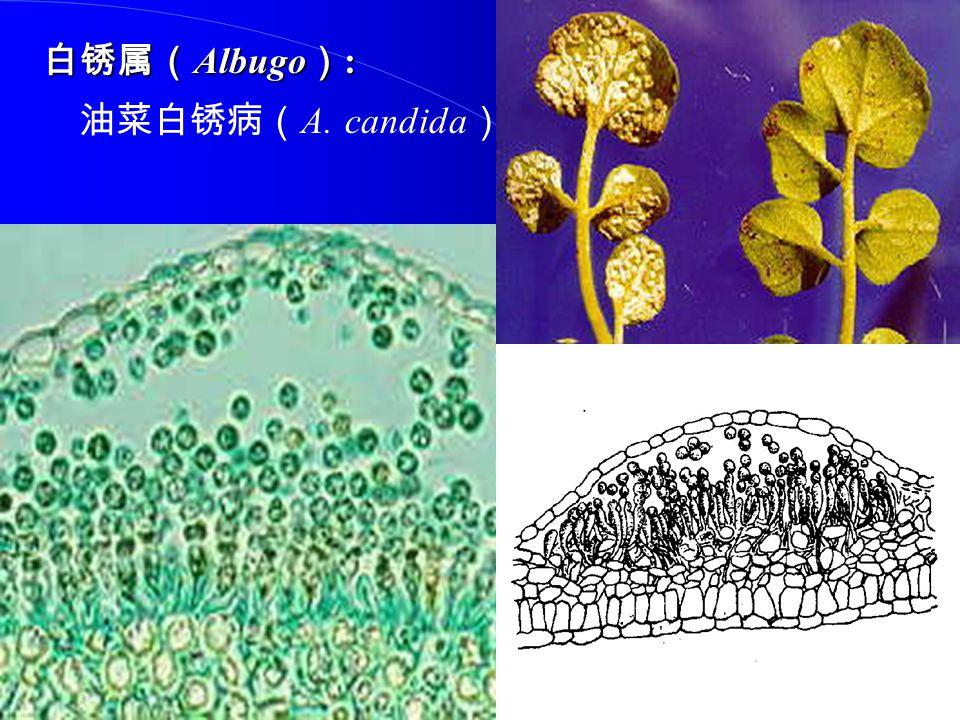 白锈属( Albugo ) : 油菜白锈病( A. candida )