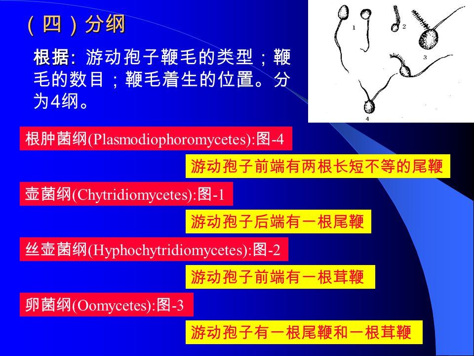 (四)分纲 根据 : 根据 : 游动孢子鞭毛的类型;鞭 毛的数目;鞭毛着生的位置。分 为 4 纲。 根肿菌纲 (Plasmodiophoromycetes): 图 -4 壶菌纲 (Chytridiomycetes): 图 -1 丝壶菌纲 (Hyphochytridiomycetes): 图 -2 卵
