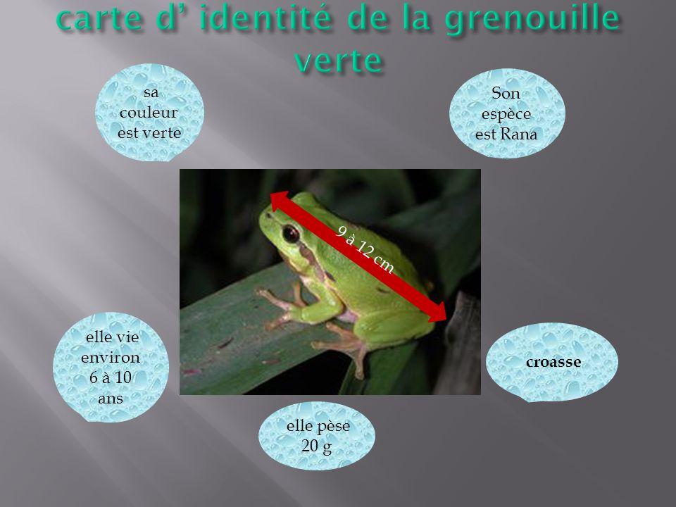 9 à 12 cm croasse sa couleur est verte elle vie environ 6 à 10 ans elle pèse 20 g Son espèce est Rana
