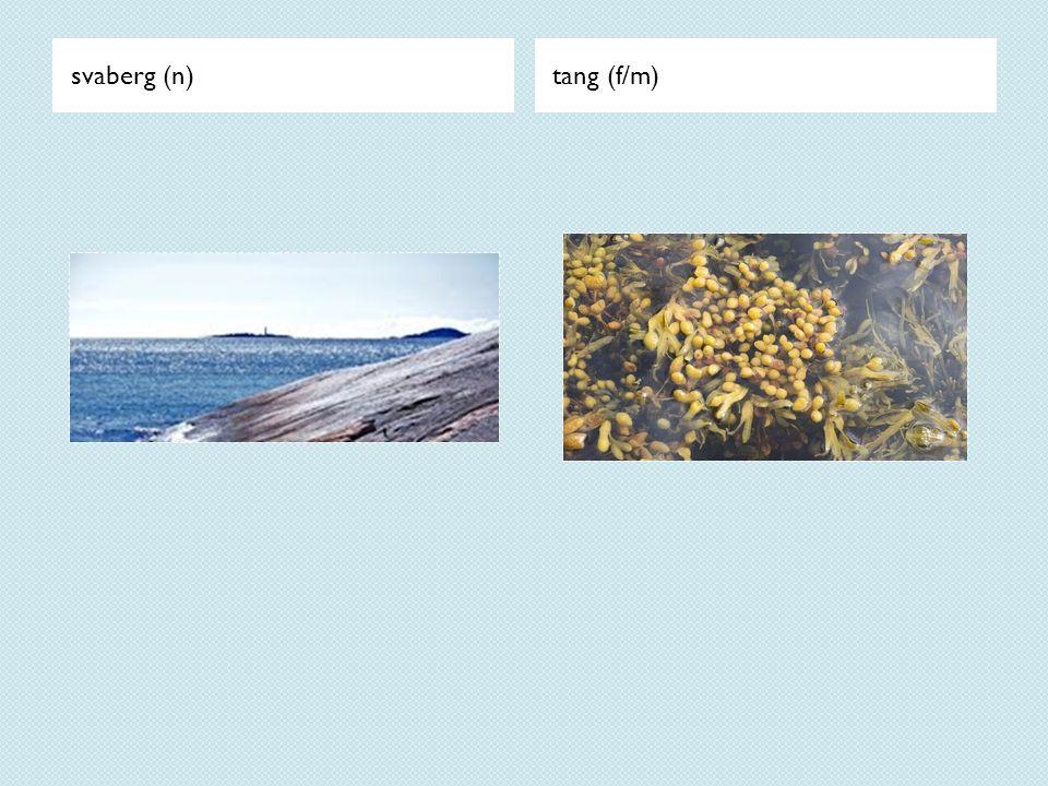 svaberg (n)tang (f/m)