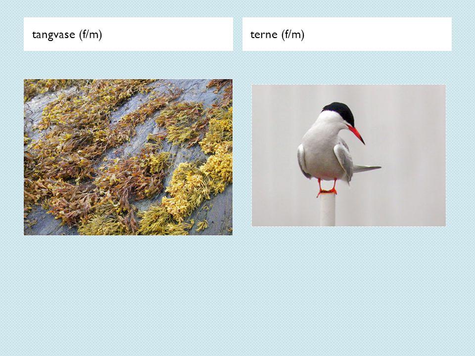 tangvase (f/m)terne (f/m)