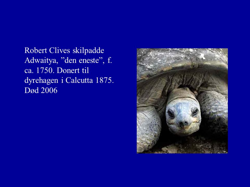 "Robert Clives skilpadde Adwaitya, ""den eneste"", f. ca. 1750. Donert til dyrehagen i Calcutta 1875. Død 2006"
