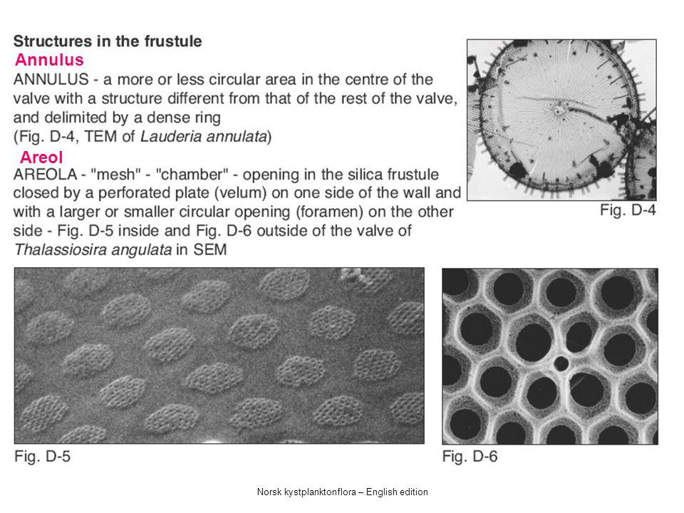Norsk kystplanktonflora – English edition Stripe Ribbe Avstivet prosess