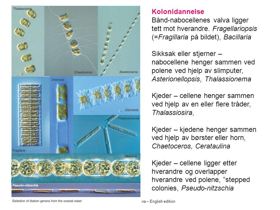 Norsk kystplanktonflora – English edition Kolonidannelse Bånd-nabocellenes valva ligger tett mot hverandre. Fragellariopsis (=Fragillaria på bildet),