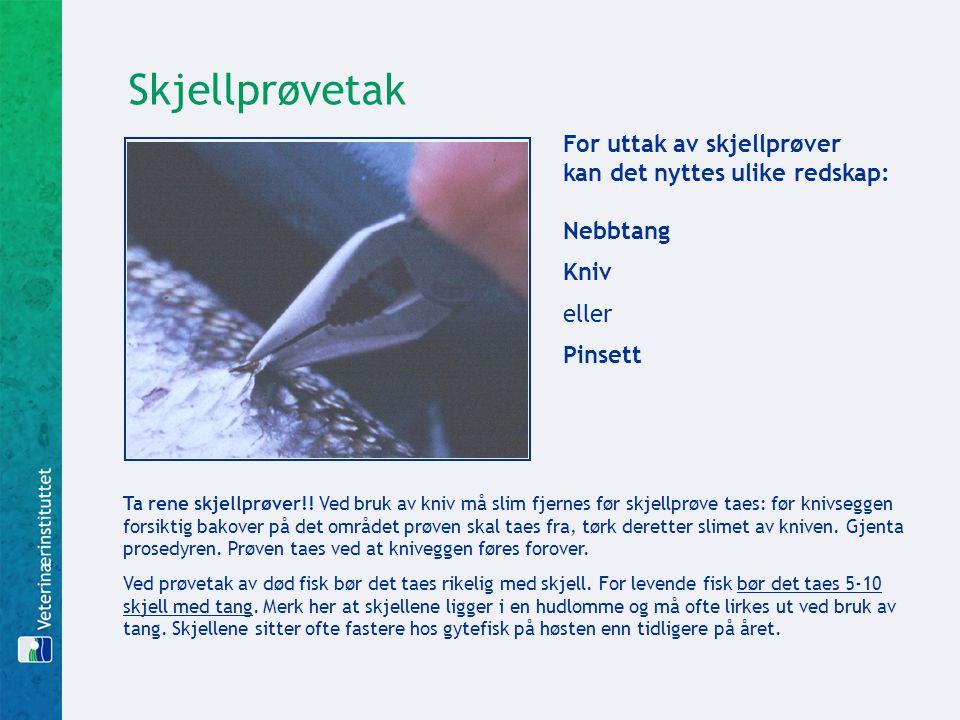 For uttak av skjellprøver kan det nyttes ulike redskap: Nebbtang Kniv eller Pinsett Ta rene skjellprøver!! Ved bruk av kniv må slim fjernes før skjell