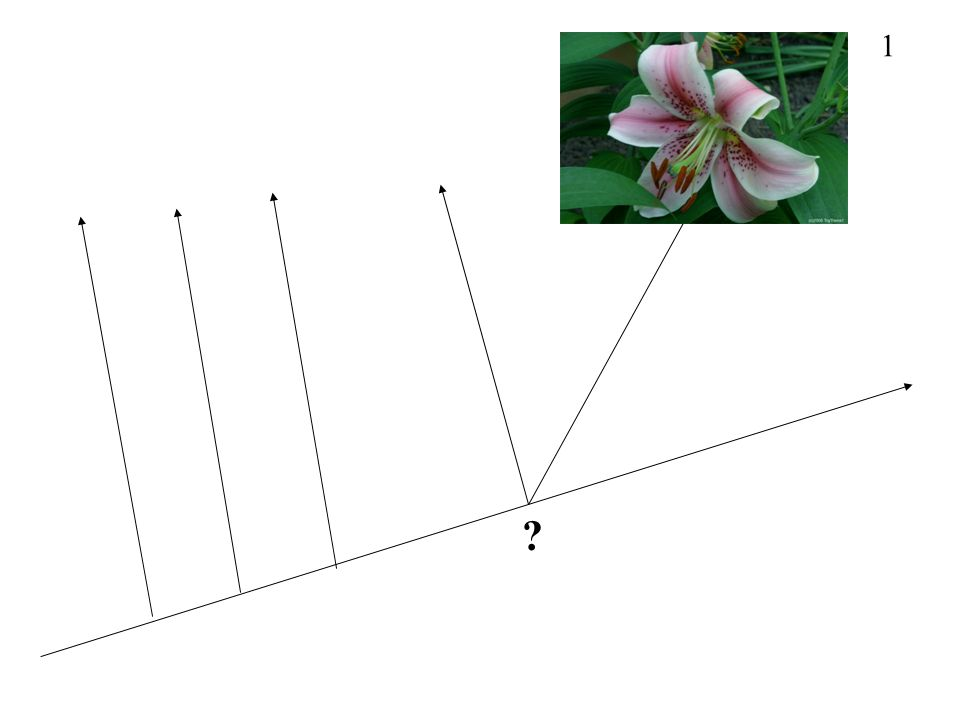 21 MONOCOT SYNAPOMORPHY 3