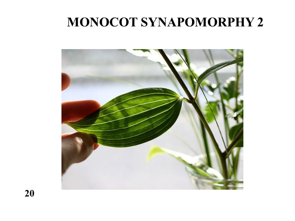 MONOCOT SYNAPOMORPHY 2 20