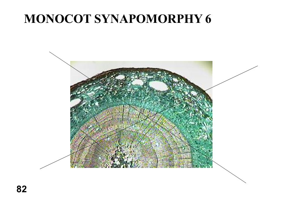 MONOCOT SYNAPOMORPHY 6 82