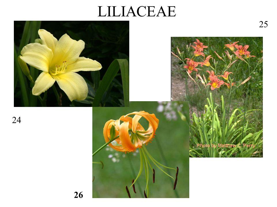 24 LILIACEAE 25 26