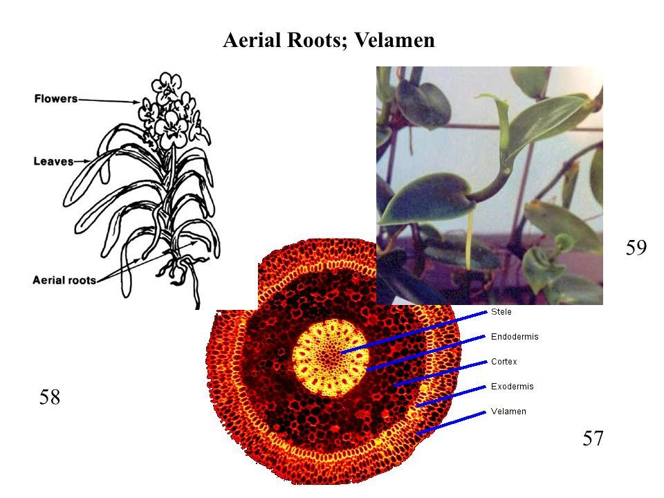 57 58 59 Aerial Roots; Velamen