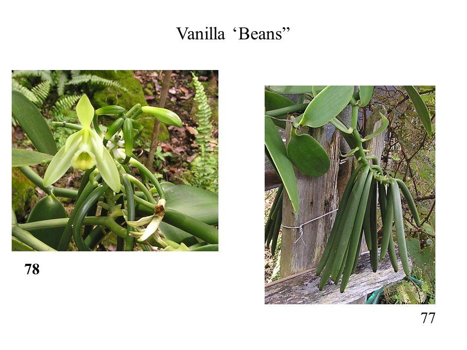 78 77 Vanilla 'Beans