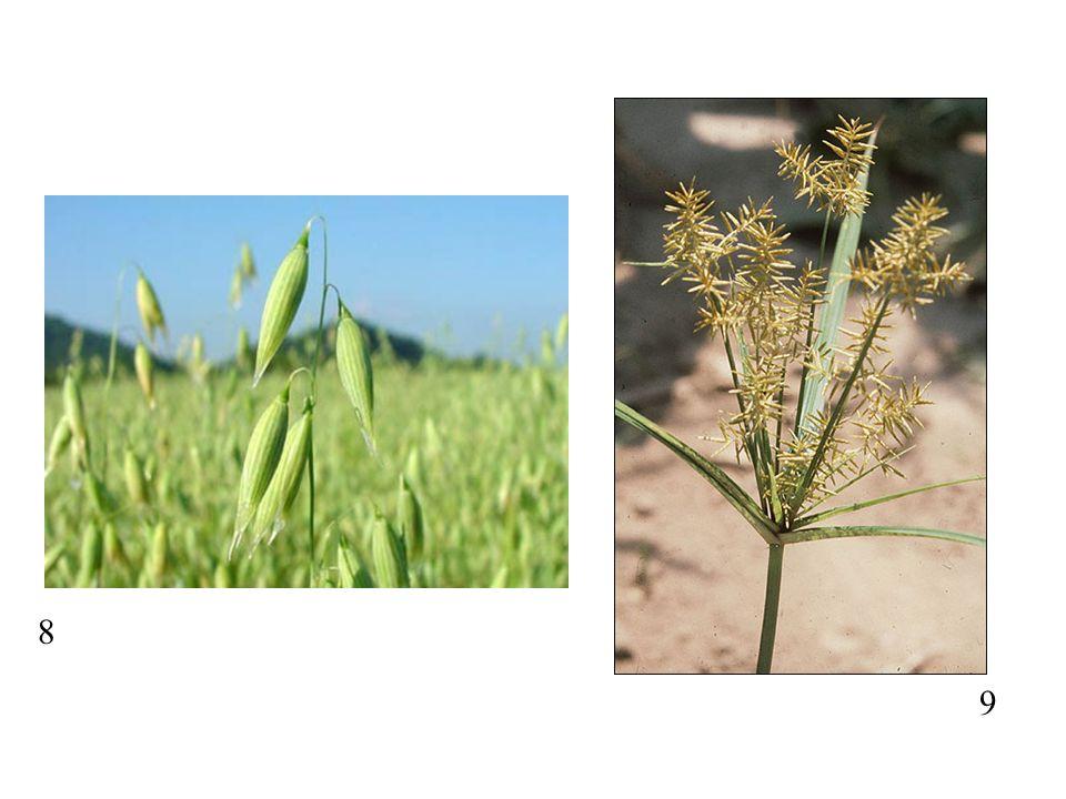 Vegetative: Calyx: Corolla: Androecium: Gynoeicum: Fruit: ORCHIDACEAE