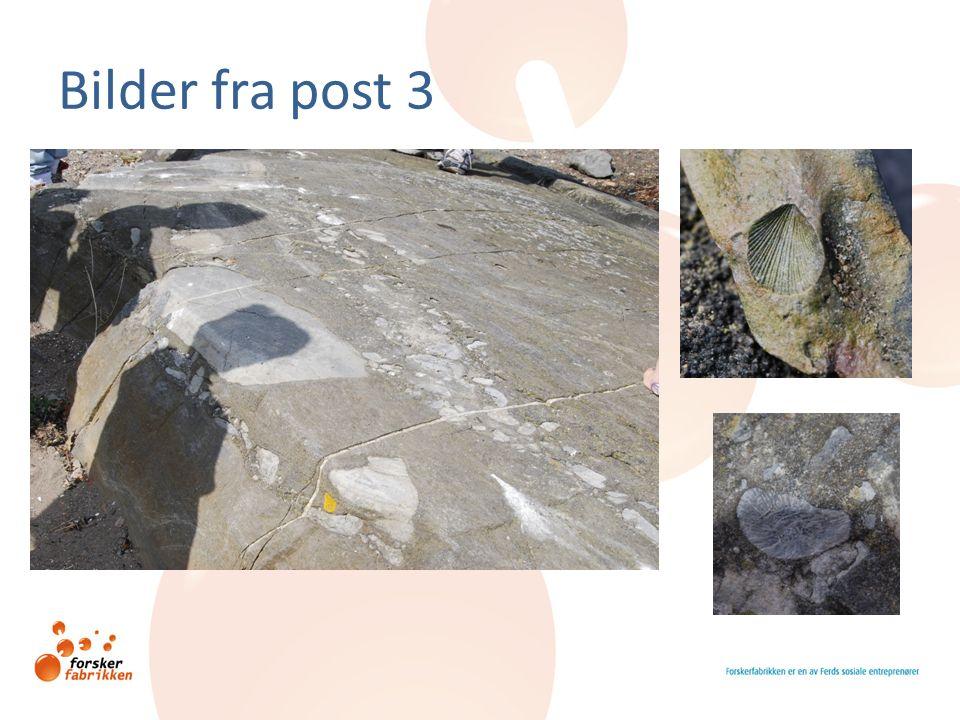 Bilder fra post 4 Brachiopode Del av trilobitt