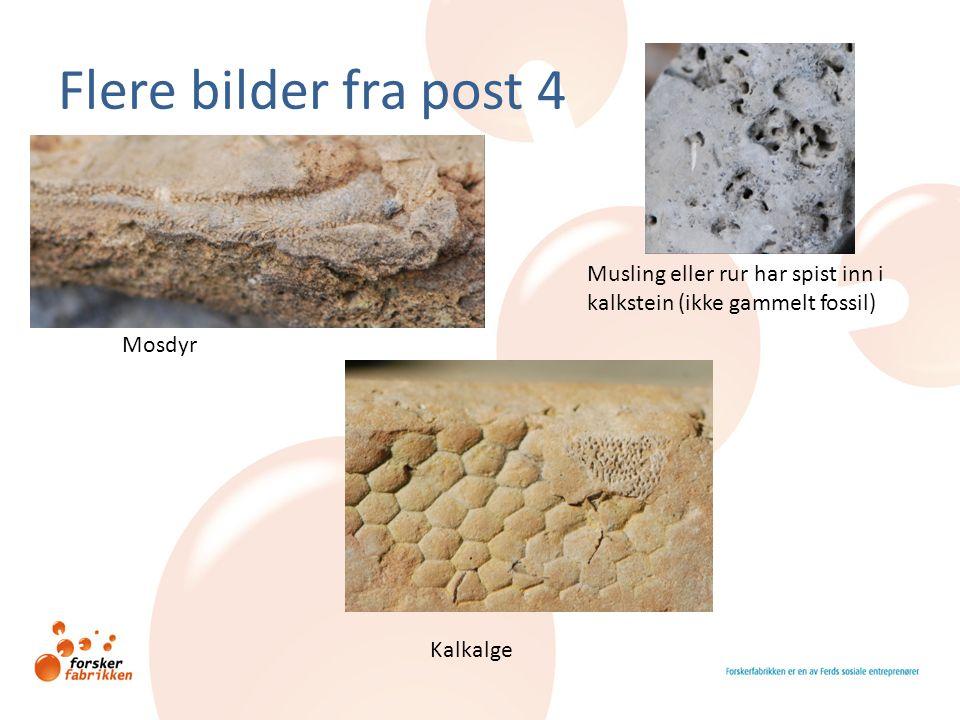 Flere bilder fra post 4 Kalkalge Mosdyr Musling eller rur har spist inn i kalkstein (ikke gammelt fossil)