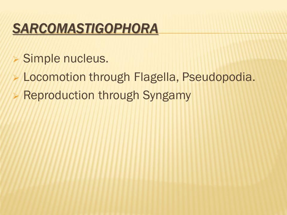 SARCOMASTIGOPHORA  Simple nucleus.  Locomotion through Flagella, Pseudopodia.  Reproduction through Syngamy