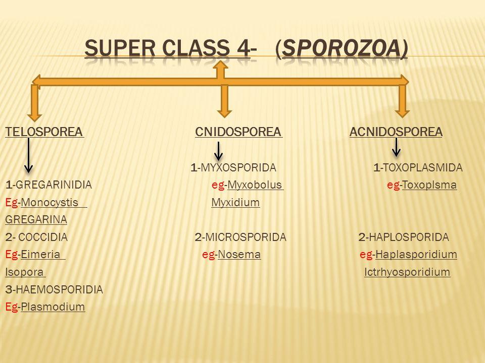 TELOSPOREA CNIDOSPOREA ACNIDOSPOREA 1-MYXOSPORIDA 1-TOXOPLASMIDA 1-GREGARINIDIA eg-Myxobolus eg-Toxoplsma Eg-Monocystis Myxidium GREGARINA 2- COCCIDIA