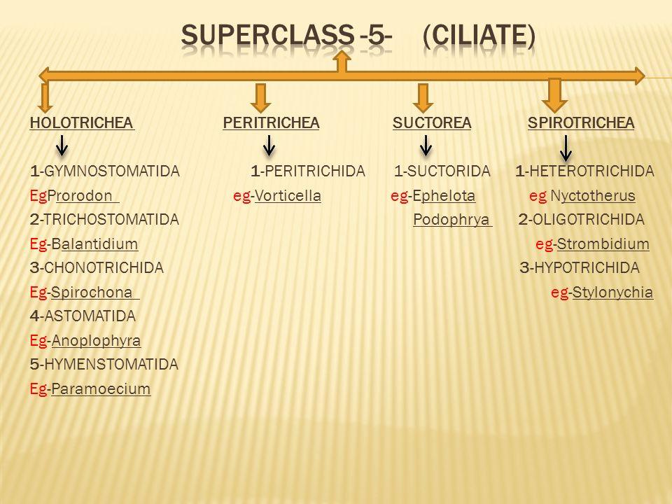 HOLOTRICHEA PERITRICHEA SUCTOREA SPIROTRICHEA 1-GYMNOSTOMATIDA 1-PERITRICHIDA 1-SUCTORIDA 1-HETEROTRICHIDA EgProrodon eg-Vorticella eg-Ephelota eg Nyc