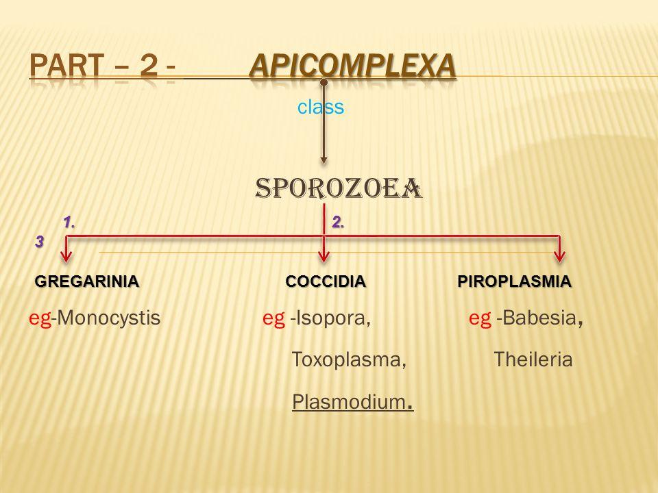 class Sporozoea eg-Monocystis eg -Isopora, eg -Babesia, Toxoplasma, Theileria Plasmodium. 1. 2. 3 1. 2. 3 GREGARINIA COCCIDIA PIROPLASMIA