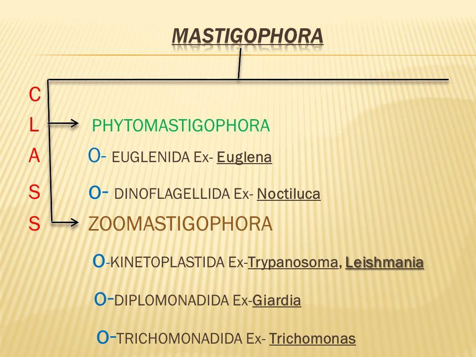 C L PHYTOMASTIGOPHORA A O- EUGLENIDA Ex- Euglena S o- DINOFLAGELLIDA Ex- Noctiluca S ZOOMASTIGOPHORA Leishmania o -KINETOPLASTIDA Ex-Trypanosoma, Leis