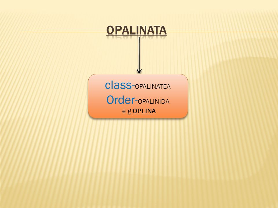 class- OPALINATEA Order- OPALINIDA e.g OPLINA class- OPALINATEA Order- OPALINIDA e.g OPLINA