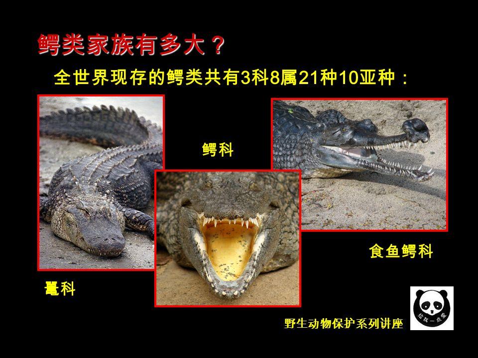 野生动物保护系列讲座 全世界现存的鳄类共有 3 科 8 属 21 种 10 亚种: 鳄类家族有多大? 鼍科 食鱼鳄科 鳄科