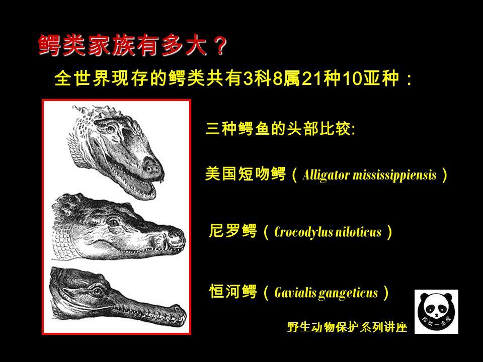 野生动物保护系列讲座 全世界现存的鳄类共有 3 科 8 属 21 种 10 亚种: 鳄类家族有多大? 尼罗鳄( Crocodylus niloticus ) 美国短吻鳄( Alligator mississippiensis ) 恒河鳄( Gavialis gangeticus ) 三种鳄鱼的头部比较 :
