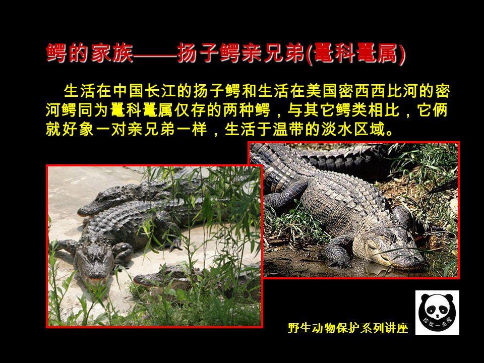 野生动物保护系列讲座 生活在中国长江的扬子鳄和生活在美国密西西比河的密 河鳄同为鼍科鼍属仅存的两种鳄,与其它鳄类相比,它俩 就好象一对亲兄弟一样,生活于温带的淡水区域。 鳄的家族 —— 扬子鳄亲兄弟 ( 鼍科鼍属 )