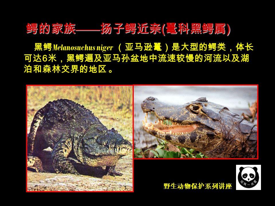 野生动物保护系列讲座 黑鳄 Melanosuchus niger (亚马逊鼍)是大型的鳄类,体长 可达 6 米,黑鳄遍及亚马孙盆地中流速较慢的河流以及湖 泊和森林交界的地区 。 鳄的家族 —— 扬子鳄近亲 ( 鼍科黑鳄属 )