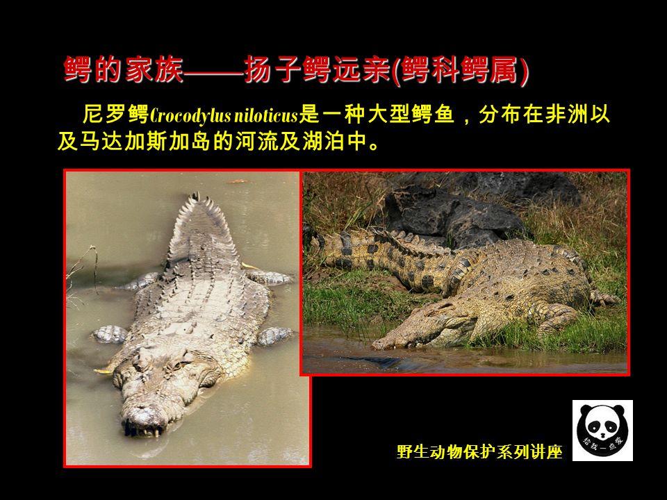 野生动物保护系列讲座 尼罗鳄 Crocodylus niloticus 是一种大型鳄鱼,分布在非洲以 及马达加斯加岛的河流及湖泊中。 鳄的家族 —— 扬子鳄远亲 ( 鳄科鳄属 )
