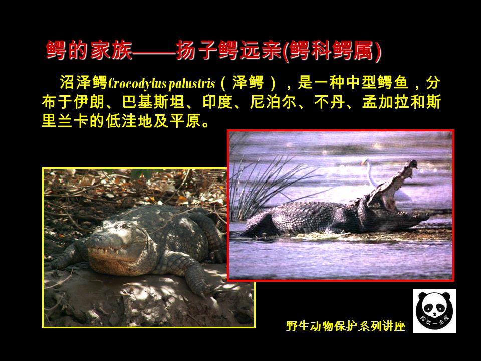 野生动物保护系列讲座 沼泽鳄 Crocodylus palustris (泽鳄),是一种中型鳄鱼,分 布于伊朗、巴基斯坦、印度、尼泊尔、不丹、孟加拉和斯 里兰卡的低洼地及平原。 鳄的家族 —— 扬子鳄远亲 ( 鳄科鳄属 )