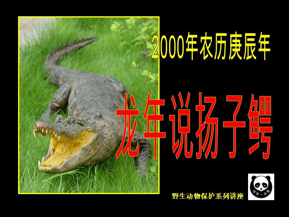 野生动物保护系列讲座 中美宽吻鳄 Caiman crocodiles (凯门鳄、中美短吻鼍)因 两眼间有道似眼镜架的脊而又被称为眼镜鳄。中美宽吻鳄 适应性强,分布广泛,生活于从墨西哥南部经中美洲和亚 马孙盆地一直到达阿根廷北部。 鳄的家族 —— 扬子鳄近亲 ( 鼍科眼镜鳄属 )