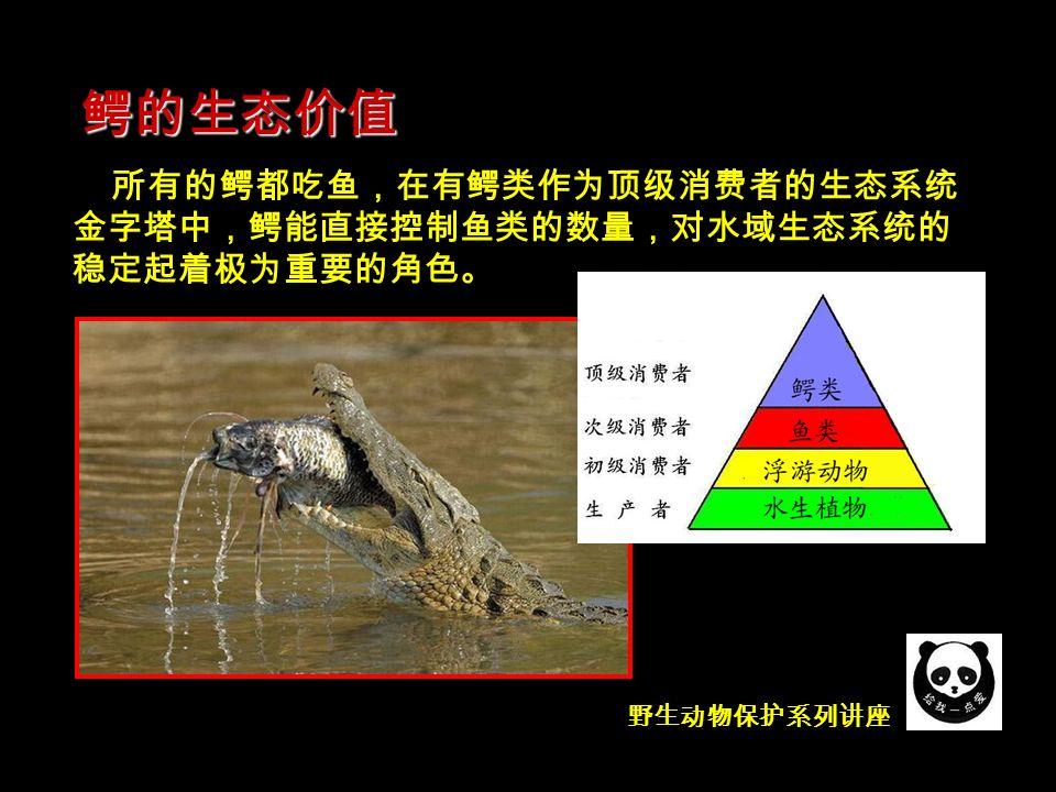 鳄的生态价值 所有的鳄都吃鱼,在有鳄类作为顶级消费者的生态系统 金字塔中,鳄能直接控制鱼类的数量,对水域生态系统的 稳定起着极为重要的角色。