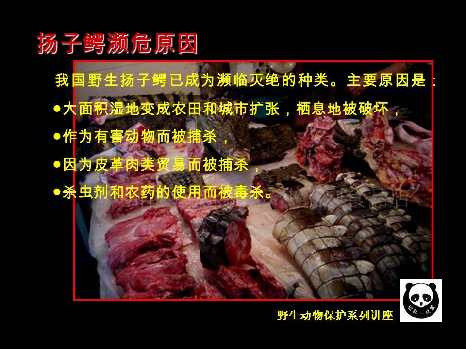 野生动物保护系列讲座 我国野生扬子鳄已成为濒临灭绝的种类。主要原因是: ●大面积湿地变成农田和城市扩张,栖息地被破坏, ●作为有害动物而被捕杀, ●因为皮革肉类贸易而被捕杀, ●杀虫剂和农药的使用而被毒杀。 扬子鳄濒危原因