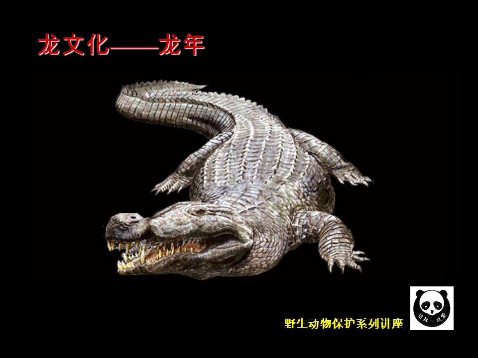 野生动物保护系列讲座 谁是龙的模特儿呢?实际上当我们看到龙的形象时,很自 然地想到鳄。我国著名的古生物学家杨钟健先生认为,除头 部有角外,从龙的象形特点推断, 都是鳄的形象 。在有鳄 分布地区生活的人们,常常把扬子鳄称为 土龙 。他们认为 土龙 和 真龙 的区别仅在于:前者能打洞,后者能飞。鉴于 以上这些特征,可以认为龙的模特儿应该是鳄,它是鳄形象 的艺术升华。有些学者甚至肯定地说,作为中华民族图腾- - 龙 的蓝本应该是扬子鳄。 龙文化 —— 龙年