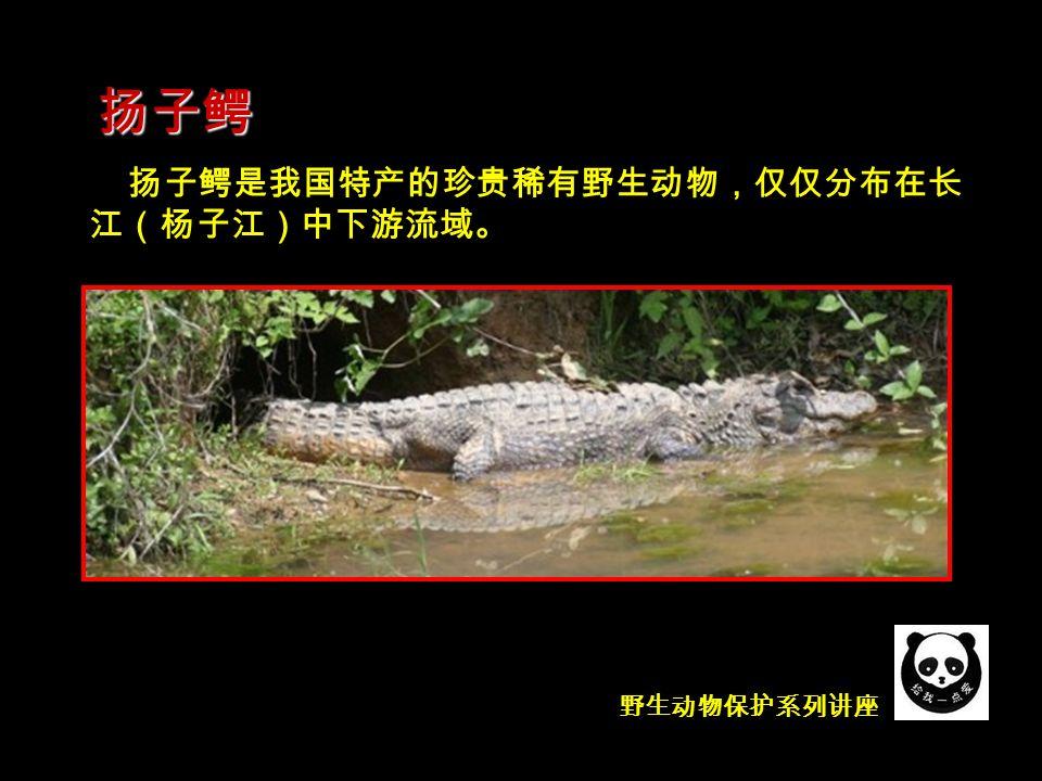 野生动物保护系列讲座 侏儒鳄 Osteolaemus tetraspis ,(骨喉鳄、非洲侏儒鳄、西 非矮鳄),是世界上体型最小型的鳄鱼 。分布在非洲西 部及中部热带雨林、湿地、池塘及沼泽 。 鳄的家族 —— 扬子鳄远亲 ( 鳄科侏儒鳄属 )